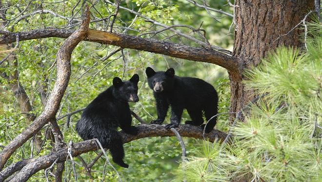 Two Black Bear Cubs Sitting on a Tree Branch up a Pine Tree.
