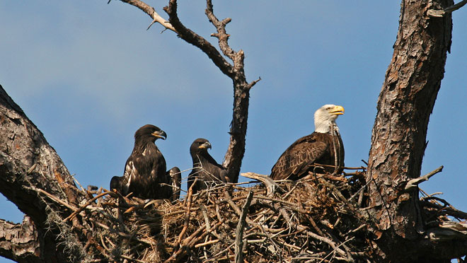 Image of eagles in nest