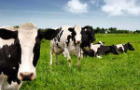 Holstein cows in a pasture
