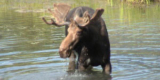 A moose crossing a body of water.