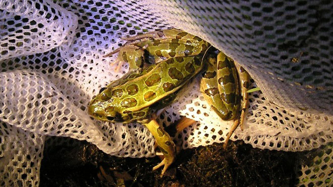 northern leopard frog in net