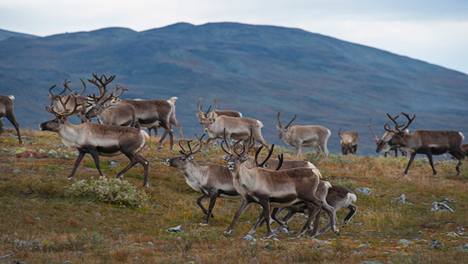 Image of a reindeer herd in Norway