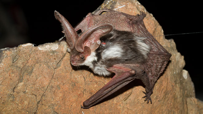 Image of spotted bat