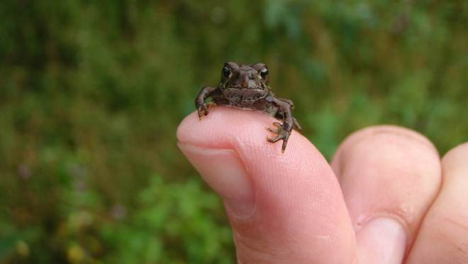 This western toadlet was helped safely across the highway during a previous Toadfest