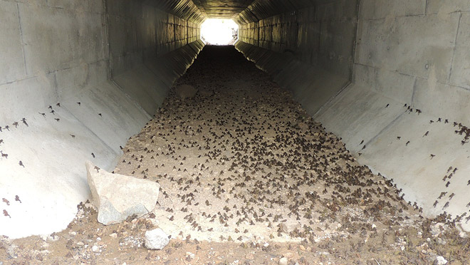Image of toadlets entering tunnel