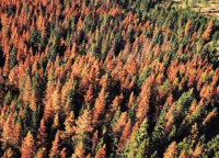 Mountain pine beetle infected trees
