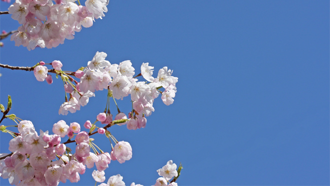 Image of the sky with a cherry blossom tree