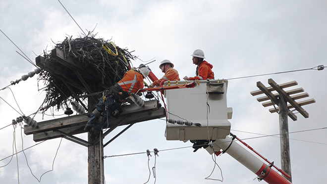 Crews work to move an osprey nest