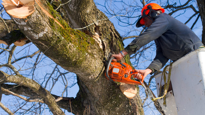 Arborist with a chainsaw up in a tree