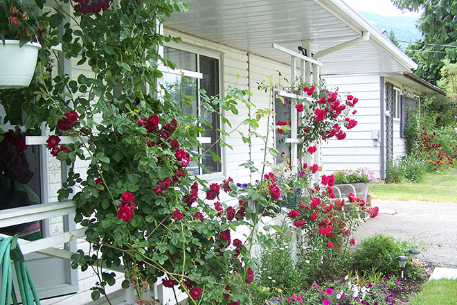 Image of roses growing on a Sicamous, B.C. home