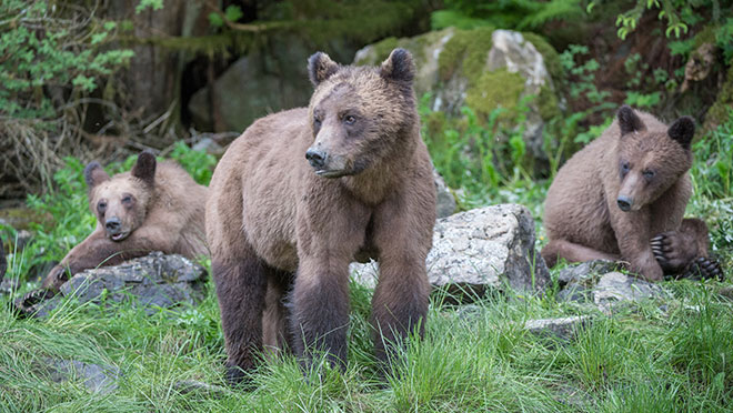 grizzly bear family at Khutzeymateen park