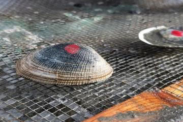Keeping clams happy on and near our submarine cables