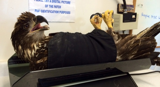 'Flash' the bald eagle recovering nicely, thanks to BC Hydro crews in Ladner