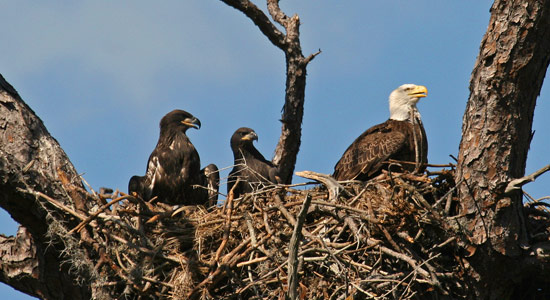 What we're doing to protect bald eagles