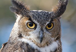 Owl rescued near Salmon Arm