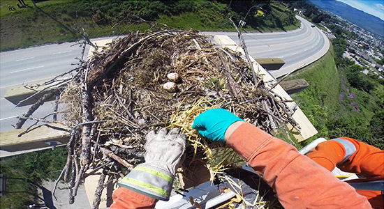 After series of power outages, osprey nests relocated