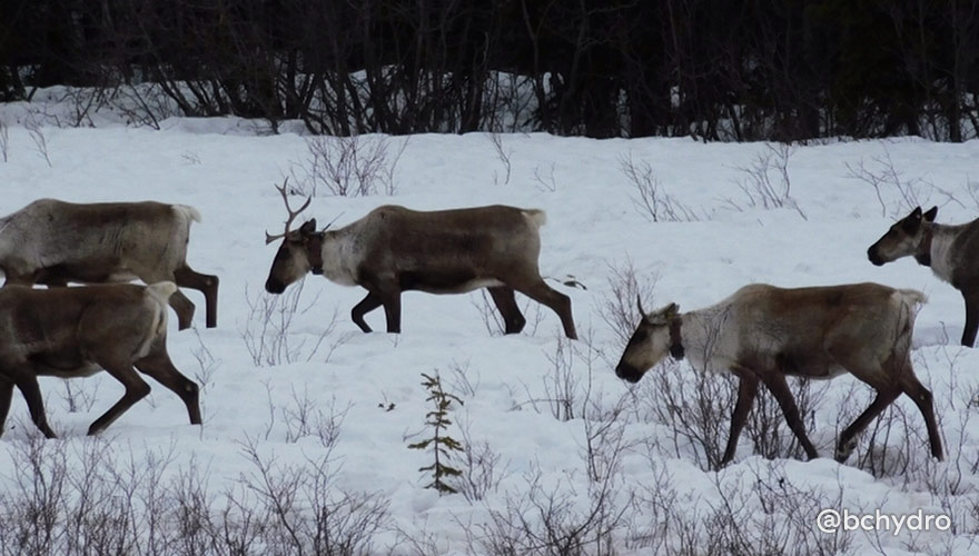 These are just a few of the caribou living in a maternity pen located in the Chetwynd area